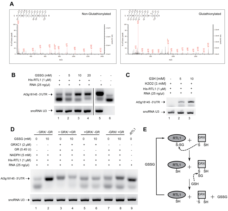 Glutathionylation of RTL1 affects RNase III cleavage activity. ( A ) His - RTL1 treated with 5 mM GSSG was trypsin digested and analyzed by nanoLC-MSMS. The panels show fragmentation spectra matching peptides with either unmodified (left) or with glutathionylated C230 (right). ( B ) Effect of reduced glutathione (GSSG) on cleavage of the 3′UTR sequence by His-RTL1. The protein samples were incubated at room temperature for 30 min with 0–20 mM GSSG before cleavage assay. ( C ) Effect of oxidized glutathione (GSH) on cleavage of the 3′UTR sequence by His-RTL1 in the presence of H 2 O 2 . The samples were incubated at room temperature for 30 min with 1 mM H 2 O 2 and 0–10 mM GSH. ( D ) Reactivation of cleavage activity His-RTL1 by deglutathionylation with GRXC1. The samples were incubated at room temperature for 30 min with 10 mM GSSG or buffer only. The samples were further incubated at room temperature for 20 min with or without the GRX system (5 mM NADPH, 2 μM GRXC1, 0.45 units GR). Full system is absent in lanes 1–2 while present in lanes 3–4. GR was omitted in lanes 5–6 and no GRXC1 was added in lanes 7–8. Lane 9 is without RTL1 protein. ( E ) Schematic representation of the likely process of deglutathionylation of His-RTL1 by GRX based on a classical deglutathionylation model. The thiolate form of the GRX catalytic Cys attacks the disulfide of the glutathionylated Cys residue, releasing the reduced peptide, and becoming glutathionylated. A molecule of GSH reduces the glutathionylated thiol of GRX, releasing the thiolate catalytic Cys and generating a GSSG molecule. RT-PCR reactions were performed using total RNA from 14 days-old Arabidopsis thaliana plants and primers p1/p9 and U3fw/U3rev .
