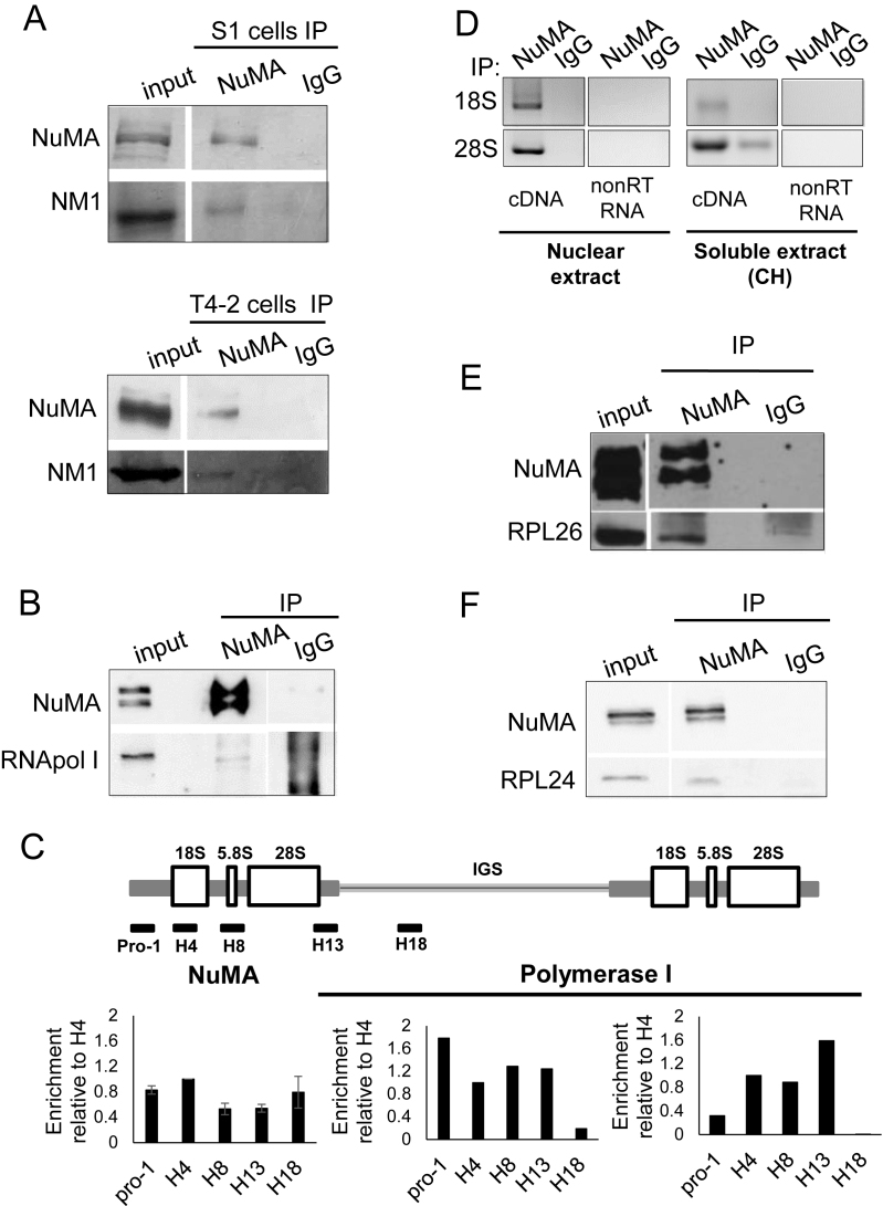 NuMA interacts with proteins and nucleic acid components of ribosomal biogenesis. S1 cells were cultured for 8 days with complete medium followed by 2 days without EGF to induce proliferation arrest; T4–2 cells were cultured for 6 days. ( A ) Immunoprecipitation (IP) of nuclear extracts from S1 and T4–2 cells with NuMA antibodies (NuMA) or with non-specific immunoglobulins (IgG), followed by western blot analysis of the input and immunoprecipitated samples using NuMA and NM1 antibodies. ( B ) Immunoprecipitation of nuclear extracts from S1 cells followed by western blot analysis for NuMA and RNA polymerase I (RNA pol I). ( C ) ChIP from T4–2 cells with NuMA antibody ( n = 4) or RNA Polymerase I antibody ( n = 2), followed by RT-qPCR for coding (pro-1, H4, H8, H13) and non-coding (H18) regions of rDNA. The drawing shows the organization of the rDNA gene (IGS = intergenic sequence). Data are normalized to those obtained with IgG control (see 'Materials and Methods' section). ( D ) RNA immunoprecipitation fromT4–2 cells with NuMA antibody or with non-specific IgG of nuclear extracts and soluble extracts (the latter were treated with 50 μg/ml cycloheximide [CH]). Both the DNAse treated non-reverse transcribed RNA (nonRT RNA) and the DNAse treated reverse-transcribed cDNA (cDNA) samples were subjected to PCR using primers specific for human 18S and 28S rRNAs ( n = 2). ( E and F ) Immunoprecipitation of nuclear extracts from S1 cells followed by western blot analysis for NuMA, RPL26 and RPL24.