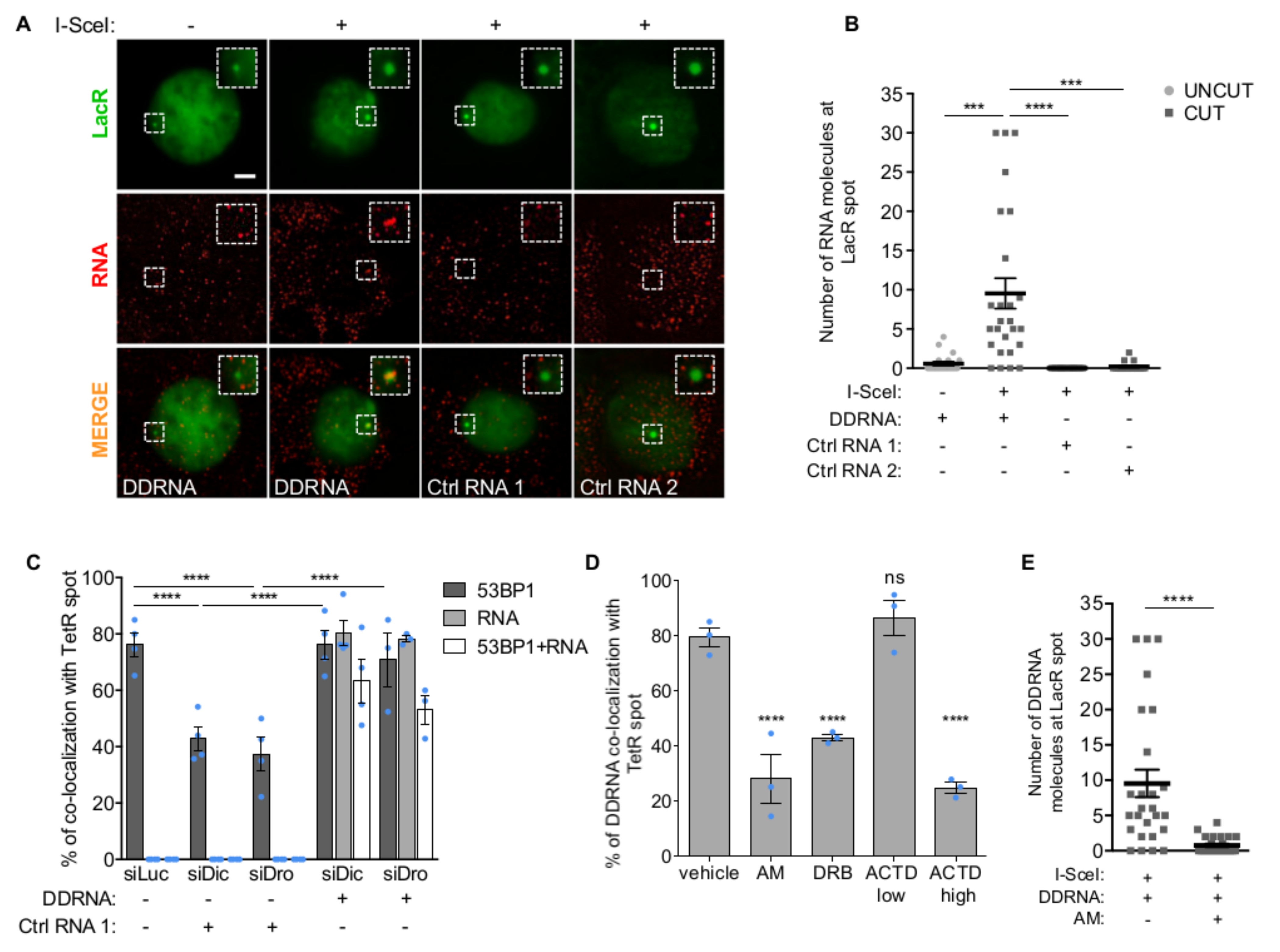 Sequence-specific localization of DDRNAs at DNA damage sites is transcription-dependent. ( A ) Images of NIH2/4 cells expressing GFP-LacR, microinjected with double-stranded DDRNA-Cy5, artificial CXCR4-Cy5 miRNA (Ctrl RNA 1) or let-7a-Cy5 miRNA (Ctrl RNA 2), together with BSA (-) or I-SceI restriction enzyme (+) and imaged 4 h post injection. Scale bar 5 µm. Inset is a magnified view of the boxed region. Images from one out of 3 experiments with similar results. ( B ) Quantification of (A) showing the number of fluorophore-labeled RNA molecules at the locus as measured by single-molecule analysis based on stepwise photobleaching. Dots represent individual cells. The black line represents the mean ± SEM (data are shown as pool of n=3 independent experiments). ( C ) DDRNAs localize at the damage site to restore DDR focus formation. NIH2/4 cells knocked-down for Dicer and Drosha were mildly permeabilized and incubated with DDRNA-Cy5 or CXCR4-Cy5 (Ctrl RNA 1). The bar plot shows the percentage of cells positive for co-localization of 53BP1 with TetR, of RNA-Cy5 with TetR and the triple co-localization of 53BP1, RNA-Cy5 and TetR. Error bars indicate SEM (for siLuc and siDic n=4, for siDro n=3 independent experiments, ≥70 cells analysed in total per condition). ( D ) NIH2/4 cells expressing YFP-TetR and inducible I-SceI were treated with AM, DRB or ACTD at low and high doses or vehicle alone for 2 h before cut induction, then mildly permeabilized and incubated with DDRNA-Cy5. The bar plots show the percentage of cells in which DDRNA signal co-localizes with the TetR spot. Error bars indicate SEM (n=3 independent experiments, ≥80 cells analysed in total per condition). ( E ) NIH2/4 cells expressing GFP-LacR were microinjected with double-stranded DDRNA-Cy5, together with I-SceI protein and AM and imaged 4 h post injection. The plot shows the number of DDRNA molecules at the locus as measured by single-molecule counting based on stepwise photobleaching. Dots represent individual cells. The black line represents the mean ± SEM (data are shown as pool of n=3 independent experiments). ( B,E ) P values were calculated using two-tailed t-test. ( C,D ) P values were calculated using chi-squared test. *** P