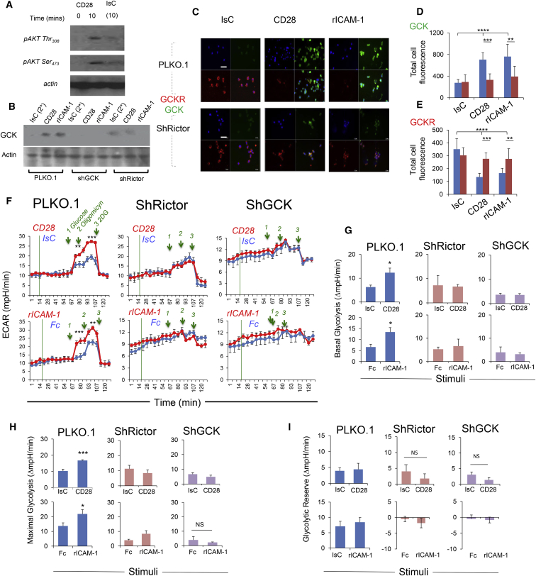 mTORC2 Controls Metabolic Reprogramming Induced by Pro-migratory Stimuli (A) Phosphorylation of AKT at Thr 308 and Ser 473 in Treg cells activated with CD28- or IsC-antibody ligation was measured by immunoblotting. (B) Treg cells were virally transfected with Rictor-specific or GCK-specific or non-sense (PLKO.1) sh-RNAs, as described in STAR Methods . Expression of GCK was measured by immunoblotting 24 hr later. (C–E) Expression of GCK and GCKR by control or Rictor-deficient Treg cells following CD28 or LFA-1 activation for 45 min. Bar graphs (D and E) show the mean protein expression (Total cell fluorescence) measured in 3 independent experiments by ImageJ software ± SD. Scale bar, 40 μm. (F–I) ECAR of CD28- or LFA-1-stimulated Rictor- and GCK-deficient and control T cells was measured with an extracellular flux analyzer. A glycolysis stress assay was performed by adding the indicated compounds at the time points indicated by the green lines. The basal and maximal glycolysis and the glycolytic reserve are shown in (G), (H), and (I), respectively (±SEM). N = 2. ∗ p