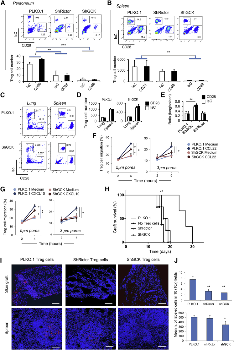 Rictor-Deficient Treg Cells Display Impaired Motility (A–E) CD28-stimulated or IsC-treated PLKO.1, Rictor- or GCK-deficient Treg cells were labeled with PKH26 and co-injected i.v. with identical numbers of IsC-treated CFSE-labeled cells in syngeneic recipients treated with IFN-γ 48 hr earlier. The presence of differently labeled cells in the indicated organs was assessed by flow cytometry 24 hr later. Representative dot plots from 3 independent experiments are shown on top in (A), (B), and (C). The bar graphs in (A), (B), and (D) indicate mean absolute number of labeled Treg cells recovered in the indicated tissues from 4 different recipients ± SD (N = 3). The bar graph in (E) shows the ratio of Treg cells recovered in the lung and the spleen (n = 4) ± SD. (F and K) Control and ShGCK Treg cell migration through 5 or 3 μm pore bare-filter transwells in response to CCL22 (F) or CXCL10 (K). Results are expressed as percentage of migrated cells at the indicated time points ± SD (n = 3). (H–J) BALB/c-derived skin was grafted onto C57BL/6 recipients who had received mock-transduced, Rictor- or GCK-depleted Treg cells or no cells 24 hr earlier. Graft rejection was monitored daily (H). Some grafts were removed 5 days post-grafting and the presence of fluorescently labeled Treg cells in the indicated tissue was assessed by widefield fluorescence microscopy. Representative images of grafts and spleens from 2 independent experiments are shown in (I). The bar graphs (J) indicate the mean number of labeled cells detected in at least 10 10× tissue images from each animal ± SD (n = 8). ∗ p
