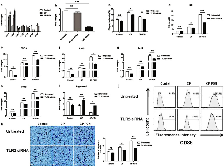 Silencing of TLR2 down-regulated CP/CP-PGN-induced activation and differentiation of RAW264.7 cells. The expression levels of TLRs were analyzed by qRT-PCR to select out which TLR changed most obviously ( a ). RAW264.7 cells transfected 24 h with TLR2 siRNA/control siRNA, then the mRNA of TLR2 were assayed by qRT-PCR ( b ). CP and CP-PGN pretreated RAW264.7 or RAW264.7 transfected with TLR2 siRNA co-stimulated with MRSA to analysis the phagocytosis rate ( c ). RAW264.7 or RAW264.7 transfected with siTLR2 were co-cultured with CP or CP-PGN for 24 h to detect the production of NO ( d ), for 3 h to detect cytokines ( e,f,g ), iNOS ( h ) and arginase-1 ( i ) by qRT-PCR. CD86 were determined by flow cytometric analysis ( j ) and cell migration assay was shown ( k ). Each graph represents the average of three replications. The significant differences compared with the untreated group were analyzed by Student's t test, * P