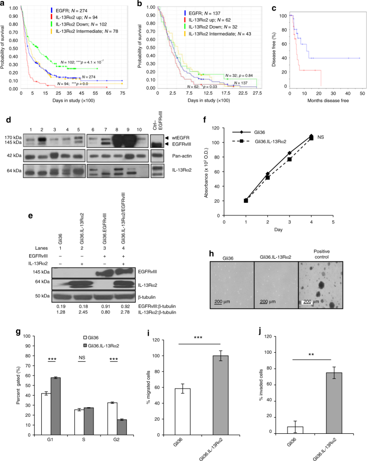 GBM patients co-expressing EGFR and IL-13Rα2 correlate to poor survival where the overexpression of IL-13Rα2 alone leads to enhance cell migration but not proliferation. Kaplan−Meier survival analysis of a all gliomas patients; b GBM patients from REMBRANDT database from National Cancer Institute (USA). Patients overexpressing EGFR mRNA by 2-fold (blue) with high (red), intermediate (yellow) and low (green) levels of IL-13Rα2 expression were shown. The log-rank p -values were indicated. c Kaplan−Meier survival plots for patients expressing high YKL-40 mRNA levels TCGA. High IL-13Rα2 expression group (red) and low IL-13Rα2 expression group (blue) were determined by aggregating all patients whose z -score normalized expression was above or below 0, respectively (Log-rank test p -value = 0.0374). Immunoblotting analysis showed the expression of EGFR and IL-13Rα2 protein levels were determined from d a panel of 10 patient-derived GBM e and the isogenic cell lines generated from Gli36 glioma cells. Pan-actin or β tubulin served as internal loading controls. f Cell proliferation and g Cell cycle analysis were performed with Gli36 and Gli36.IL-13Rα2 cells h Soft agar colony formation assay was performed, Gli36.EGFRvIII was used as a positive control. i In vitro migration and j invasion assays were determined in Gli36 and Gli36.IL-13Rα2 cells. All data are represented as mean ± SEM, unpaired t -test ** p