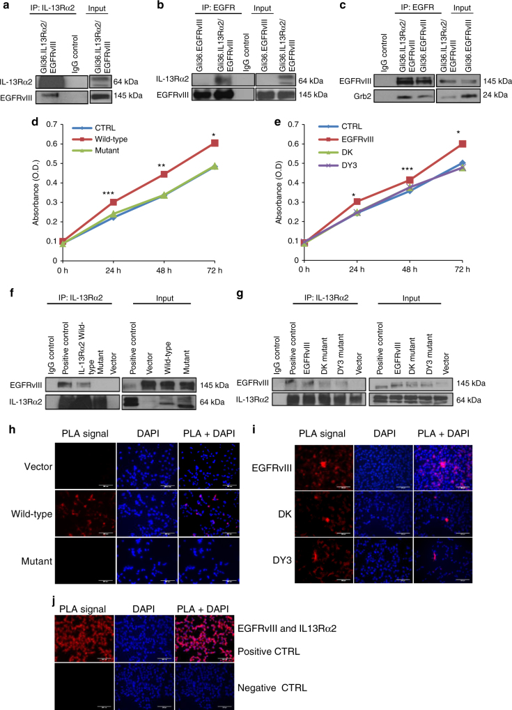 Deletion of the cytoplasmic domain of IL-13Rα2 resulted in a loss of physical interaction with EGFRvIII and enhanced proliferation is abolished. a Whole-cell lysates prepared from stable cell line Gli36.IL-13Rα2/EGFRvIII cells were used for immunoprecipitation with anti-IL-13Rα2 antibody, then immunoprobed with an anti-EGFR antibody. IgG served as control while unprecipitated extracts serve as input. b Similar cell lysates were reverse immunoprecipitated with anti-EGFR antibody, then immunoprobed with an anti-IL13Rα2antibody. Lysates from Gli36.EGFRvIII served as additional control c Gli36.IL-13Rα2/EGFRvIII cell lysates were immunoprecipitated with anti-EGFR antibody, then immunoprobed with anti-Grb antibody. To further examine the domains of interaction, IL-13Rα2 and EGFR mutants were used. Gli36.EGFRvIII cells were first transfected with pIRESneo2 (Vector), IL-13Rα2 full length (Wild-type) and IL-13Rα2 Cyt tail deleted constructs (Mutant) and then analyzed by d cell proliferation assay at the indicated time points, f co-immunoprecipitation, and h PLA assays. Findings were validated using Gli36.IL-13Rα2 cells transiently transfected with vector (CTRL), full length/wild-type EGFRvIII, DK, and DY3 mutants. e proliferation outputs, g co-immunoprecipitation, i and PLA assay were performed. j represent the corresponding positive and negative controls