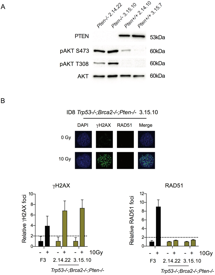 Generation of triple-deleted Trp53 −/− ; Brca2 −/− ; Pten −/− ID8 cells. ( A ) Immunoblot for PTEN and phospho-AKT following overnight serum starvation in clones isolated following Pten gRNA transfection. Clones 2.14.22 and 3.15.10, with bi-allelic Pten indels, showed absent PTEN expression and increased phosphorylation of AKT at both S473 and T308 compared to the two guide control clones, 2.14.10 and 3.15.7 that had no detectable change in Pten sequence. ( B ) ID8 Trp53 −/− and Trp53 −/− ; Brca2 −/− ; Pten −/− cells were irradiated (10 Gy), fixed and stained for γH2AX and RAD51, and counterstained with DAPI. RAD51 foci were counted in up to 30 untreated and irradiated cells. Bars represent foci per cell (mean +/− SEM); γH2AX (left) and RAD51 (right); dotted lines represent two-fold increase in γH2AX and RAD51 foci/cell relative to untreated cells as above.
