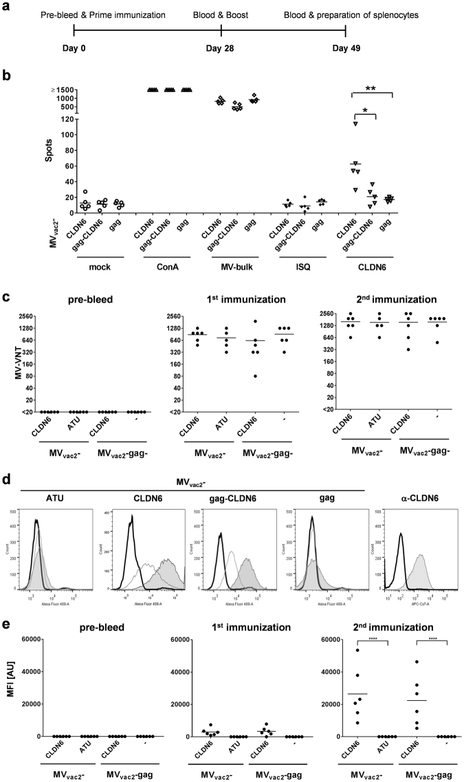 Antigen-specific cellular and humoral immunity induced by CLDN6-presenting MV. ( a ) Schematic depiction of immunization experiments. ( b ) IFN-γ ELISpot analysis using splenocytes of vaccinated mice with indicated viruses expressing CLDN6 or MLV-gag. Viruses expressing VLPs, but no antigen (MV vac2 -gag) served as negative controls. Splenocytes isolated 21 days after boost immunization and analyzed for IFN-γ-production after incubation with ConA, viral antigen (MV bulk), specific or unspecific peptides (CLDN6 or ISQ, respectively), or without stimulation (mock). ( c ) Virus neutralizing titers (VNT) of with indicated viruses vaccinated animals' sera were analyzed for neutralization of MV. LLOD = VNT 20. ( d ) Flow cytometry histograms of CLDN6-expressing CT26 cells stained with sera of representative mice vaccinated with indicated viruses before (solid black line), after prime (solid grey line), or after booster (filled grey area) vaccination. Staining with anti-CLDN6 mAb served as positive control ( e ) Analysis of CLDN6-specific antibody concentration in serum samples of vaccinated mice determined by FACS as shown in panel D according to MFI of stained cell populations. Dots represent single animals (n = 5–6); horizontal line represents mean per group. Statistical differences between groups were assessed by Mann-Whitney test ( b ) or two-way ANOVA ( d ); *P