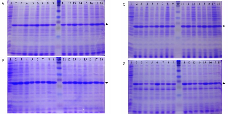 SDS-PAGE gels stained with Coomassie Blue for recombinant Rv1733c expressed in E. coli BL21 (DE3) in different media, IPTG concentrations and time points. A: 2x Yeast extract and Tryptone broth was used as culture medium; B: Terrific Broth medium; C: Super Broth medium; D: Luria-Bertani broth with 0.5% NaCl. lane 1: time 0 (non-induced), lane 2: IPTG = 0.1 mM Time = 7 h, lane 3: IPTG = 0.1 mM Time = 8 h, lane 4: IPTG = 0.1 mM Time = 9 h, lane 5: IPTG = 0.1 mM Time = 10 h, lane 6: IPTG = 0.2 mM Time = 7 h, lane 7: IPTG = 0.2 mM Time = 8 h, lane 8: IPTG = 0.2 mM Time = 9 h, lane 9: IPTG = 0.2 mM Time = 10 h, lane 10: full-range Rainbow molecular weight marker, lane 11: IPTG = 0.3 mM Time = 7 h, lane 12: IPTG = 0.3 mM Time = 8 h, lane 13: IPTG = 0.3 mM Time = 9 h, lane 14: IPTG = 0.3 mM Time = 10 h, lane 15: IPTG = 0.4 mM Time = 7 h, lane 16: IPTG = 0.4 mM Time = 8 h, lane 17: IPTG = 0.4 mM Time = 9 h, lane 18: IPTG = 0.4 mM Time = 10 h. The protein band is indicated with arrow.