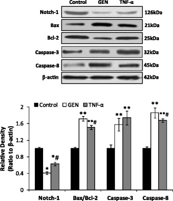 Genistein reduce the protein expression of Notch-1 and induce the expression of <t>Bax/Bcl-2,</t> <t>Caspase-8.</t> Western blot analysis were carried out to demonstrated the of expression of Notch-1, Bax, Bcl-2 and Caspase-8 in HT-29 cells treated by genistein (200 μmol/L) and TNF-α (10 ng/ml) respectively for 48 h. Density of the bands were quantified by a densitometry analysis. Data are presented after normalization by β-actin. The data shown are representative of three independent experiments. (* p