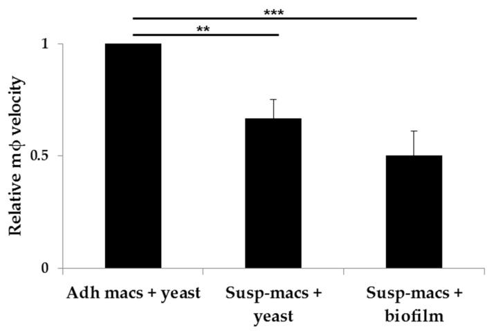 Quantitative analysis of macrophage migration in the presence of different wildtype C. albicans . This chart shows mean relative macrophage velocity + SD, relative to macrophage velocity of pre-adhered J774.1 (Adh-macs) responding to planktonic yeast. Relative velocities of J774.1 macrophages added in suspension (Susp-macs) to either yeast or a 48 h biofilm over a 30 min period are shown. Statistical significance was evaluated using one-way analysis of variance (ANOVA) and Tukey Multiple Analysis Comparison Tests. ** p