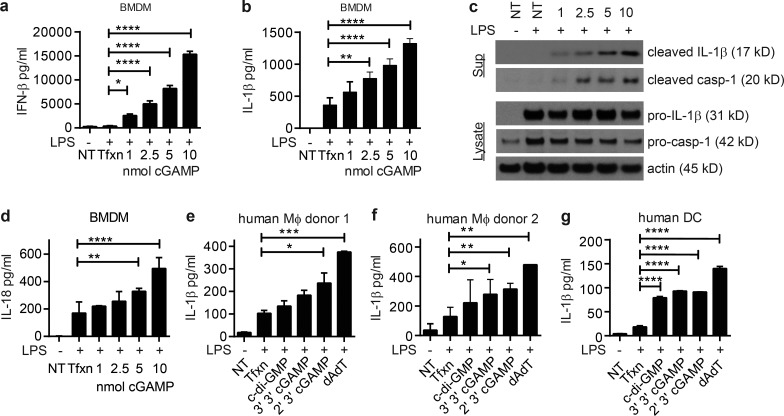 cGAMP induces inflammasome activation. (a and b) IFN-β (a) and IL-1β (b) ELISAs of BMDM supernatants primed with LPS then transfected with various dosages of cGAMP ( n = 3 independent experiments, mean ± SEM). (c) Western blots of supernatants and cell lysates from b. (d) IL-18 ELISA of BMDMs treated as described in a. (e–g) ELISAs of primary human macrophages (e and f) and human DCs (g) treated as depicted for BMDMs (individual donors ± SD). casp-1, caspase-1; Mφ, macrophage, NT, not transfected with PAMP; Tfxn, transfected with transfection reagent only. *, P
