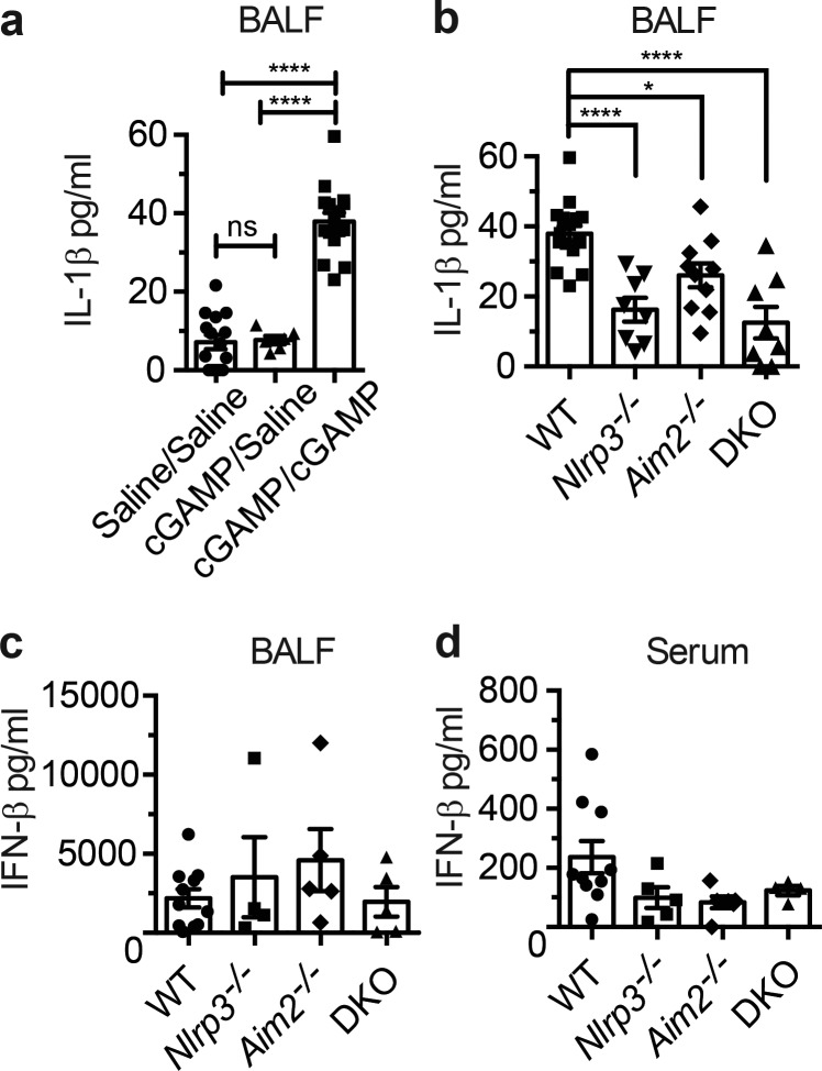 cGAMP alone is sufficient to induce the inflammasome in vivo . (a) IL-1β from BALF obtained from WT mice treated intranasally with cGAMP followed by saline or with cGAMP followed by cGAMP. (b) IL-1β from BALF obtained from WT, Aim2 −/− , Nlrp3 −/− , or Aim2 −/− Nlrp3 −/− DKO mice intranasally treated with cGAMP. (c and d) IFN-β ELISA from BALF or serum from WT and gene-deficient mice as in b. For cGAMP/cGAMP-treated: WT, n = 17; Aim2 −/− , n = 10; Nlrp3 −/− , n = 8; Aim2 −/− Nlrp3 −/− DKO, n = 8; for saline treated: WT, n = 15; Aim2 −/− , n = 9; Nlrp3 −/− , n = 8; Aim2 −/− Nlrp3 −/− DKO, n = 7; for cGAMP followed by saline: n = 6 for all strains. Error bars, SEM; ns, not significant; *, P