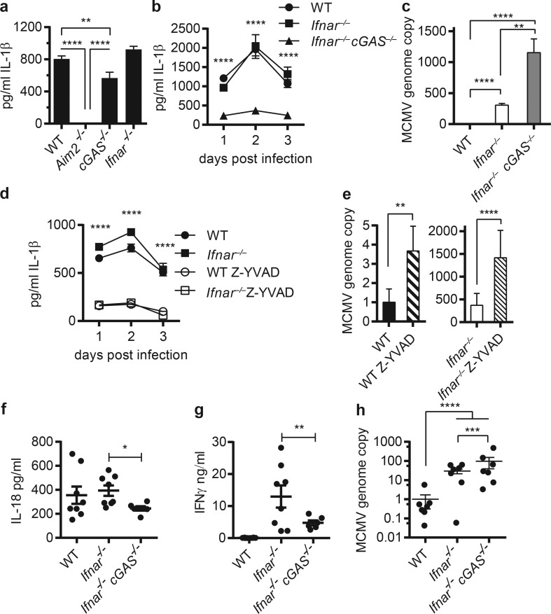 cGAS-dependent inflammasome activation is necessary for the control of MCMV. WT, Aim2 −/− , cGAS −/− , or Ifnar −/− BMDMs were infected with MCMV at multiplicity of infection 1. (a) <t>IL-1β</t> ELISA of supernatants from BMDMs 1 d postinfection. (b and c) WT, Ifnar −/− , or Ifnar −/− cGAS −/− BMDMs were infected with MCMV at multiplicity of infection 1. (b) IL-1β ELISA of supernatants from BMDMs 1–3 d postinfection. (c) Relative MCMV genome copy number from BMDMs 2 d postinfection. (d and e) WT and Ifnar −/− BMDMs were infected in the presence or absence of caspase-1 inhibitor, Z-YVAD, and assayed for IL-1β (d) or relative MCVM genome copy (e). In e, left and right panels are from the same experiment. n = 2 independent experiments. Shown is a representative experiment with technical replicates of six; mean ± SEM. (f and g) WT, Ifnar −/− , or Ifnar −/− cGAS −/− mice were infected with MCMV for 36 h. IL-18 serum levels (f), IFNγ spleen levels (g), and relative MCMV genome copy number from spleens after infection (h). n = 8. Error bars, SEM; *, P