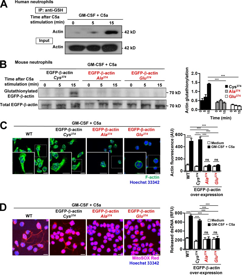 Cys374 is required for actin glutathionylation, actin polymerization, and NET formation. (A) Glutathionylated proteins in activated human neutrophil lysates were immunoprecipitated with anti–GSH antibody (time-dependent after C5a stimulation) and immunoblotted by using anti–pan-actin antibody. A total cell lysates (Input) was loaded as control. Data are representative of five independent experiments. (B) Immunoblotting. Actin glutathionylation in activated Hoxb8 mouse neutrophils overexpressing EGFP-β-actin-Cys 374 (WT), point-mutated Cys 374 to Ala 374 , or Cys 374 to Glu 374 was detected by anti–GSH antibody. The overexpression of WT and mutant forms of EGFP-β-actin was confirmed by immunoblotting with anti–GFP antibody. The ratio of glutathionylated EGFP-β-actin to total EGFP-β-actin was calculated as actin-glutathionylation in the bar graph (right panel). (C) Confocal microscopy. F-actin distribution and morphological changes were analyzed after short-term stimulation (total 35 min) of WT and overexpressed EGFP-β-actin-Cys 374 (WT), point-mutated Cys 374 to Ala 374 , and Cys 374 to Glu 374 mouse neutrophils with the indicated triggers. Right: Quantification of F-actin polymerization. (D) Confocal microscopy. DNA release was analyzed after short-term stimulation (total 35 min) of WT and overexpressed EGFP-β-actin-Cys 374 (WT), point-mutated Cys 374 to Ala 374 , and Cys 374 to Glu 374 mouse neutrophils with the indicated triggers. Right: Quantification of released dsDNA in supernatants of activated neutrophils. Data are means ± SEM. ***, P