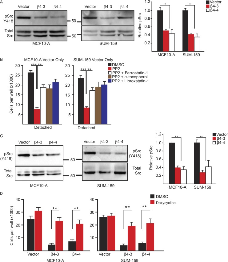 The integrin α6β4 activates Src to inhibit ferroptosis. (A) Vector control and β4-depleted cells were assessed for phosphorylated (Y418) Src by immunoblotting 3 h after ECM detachment. Relative phosphorylated Src was quantified by densitometry. (B) Vector control and β4-depleted cells were assessed for viability after 24 h of detachment in the presence of either DMSO, 10 µM PP2, PP2 and 2 µM ferrostatin-1, PP2 and 500 µM α-tocopherol, or PP2 and 2 µM liproxstatin-1. (C) Vector control and β4-depleted cells were assessed for phosphorylated (Y418) Src by immunoblotting after 3 h of incubation with 10 µM erastin. Relative phosphorylated Src was quantified by densitometry. (D) SUM-159 vector control and β4-depleted cells that expressed a doxycycline-inducible, constitutively active Src were incubated for 24 h with 2 µg/ml doxycycline and then assessed for viability after 24 h of detachment. All experiments were performed independently three times, and a representative experiment is shown. The bars in graphs represent means ± SD. *, P