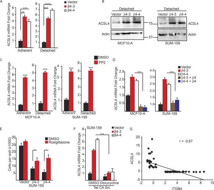 The integrin α6β4 represses ACSL4 to inhibit ferroptosis. Expression of ACSL4 was assessed by qPCR (A) and immunoblotting (B) in vector control and β4-depleted cells after 2 h of ECM detachment. (C) Expression of ACSL4 was quantified by qPCR in vector control MCF10-A or SUM-159 cells under either adherent or detached conditions after 2 h of treatment with DMSO or 10 µM PP2. (D) Expression of ACSL4 was quantified in adherent vector control, β4-depleted, and β4-rescued cells by qPCR. (E) Vector control and β4-depleted cells were assessed for viability after 24 h of detachment in the presence of either DMSO or the ACSL4 inhibitor 5 µM rosiglitazone. (F) SUM-159 vector control and β4-depleted adherent cells that expressed a doxycycline-inducible, constitutively active Src were incubated for 24 h with 2 µg/ml doxycycline, and the expression of ACSL4 was quantified by qPCR. (G) Expression of ITGB4 and ACSL4 was correlated using a published gene expression database (cBioportal) comprising 70 human breast tumors. The correlation coefficient ( r ) was calculated using Pearson's correlation. Experiments were performed independently three times, and a representative experiment is shown. The bars in graphs represent means ± SD. *, P