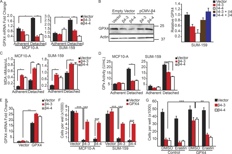 Matrix-deprived cells exhibit increased lipid peroxidation and an inability to sustain GPX4 expression in the absence of the α6β4-integrin. (A) GPX4 mRNA expression was quantified by qPCR in control and β4-depleted MCF-10A and SUM-159 cells under adherent or 2-h matrix-deprived conditions. (B) Expression of GPX4 was assessed by immunoblotting in vector control, β4-depleted, and β4-rescued cells after 2 h of detachment. Relative densitometry values are shown. (C) Lipid peroxidation was quantified using the MDA assay in control and β4-depleted, MCF-10A and SUM-159 cells under adherent or 4-h matrix-deprived conditions. (D) GPX enzyme activity was assayed in control and β4-depleted, MCF-10A and SUM-159 cells under adherent or 4-h matrix-deprived conditions. (E) Control and β4-depleted SUM-159 cells were transfected with either a vector control or a GPX4 expression vector. GPX4 mRNA expression was quantified by qPCR. (F) Control and β4-depleted MCF10-A and SUM-159 cells that had been transfected with either a vector control or a GPX4 expression vector were detached for 24 h, and the number of viable cells was quantified. (G) Control and β4-depleted cells that had been transfected with either a vector control or a GPX4 expression vector were detached for 24 h with in the presence of either DMSO or 10 µM erastin, and the number of viable cells was quantified. Experiments were performed independently three times and a representative experiment is shown. The bars in graphs represent means ± SD. *, P