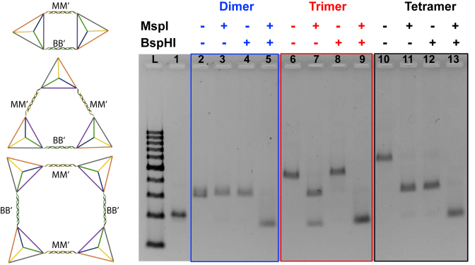 Schematic illustration (left) and 2.5% agarose gel electrophoresis (right) for endonuclease digestion of the circular dimer, trimer and tetramer with MspI and BspHI. Lane L: DNA ladder with 100–1000 base pairs. Lane 1: tetrahedron monomer as a control; Lane 2: dimer without any enzyme; lane 3: dimer digested with MspI; lane 4: dimer digested with BspHI; lane 5: dimer digested by both of MspI and BspHI; lane 6: trimer without any enzyme; lane 7: trimer digested with MspI; lane 8: trimer digested with BspHI; lane 9: trimer digested by both of MspI and BspHI; lane 10: tetramer without any enzyme; lane 11: tetramer digested with MspI; lane 12: tetramer digested with BspHI; lane 13: tetramer digested by both of MspI and BspHI.