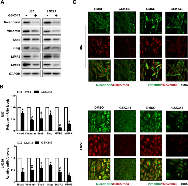 GSK343 suppresses mesenchymal transition in U87 and LN229 cells (A, B) Protein and mRNA levels of N-cadherin, Vimentin, MMP2, MMP9, Snail, Slug, and GAPDH in U87 and LN229 cells treated with 5 μM GSK343 or 0.1% DMSO for 48 h were examined by western blot analysis and RT-PCR ( * p