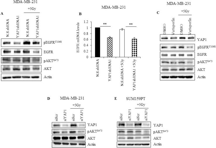 YAP1 activity is required to sustain EGFR and PI3K/AKT signaling during radiation in TNBC cells ( A ) YAP1 shRNA or N.S. shRNA cells were irradiated and cell lysates, obtained two hours after radiation, and analyzed for pEGFR Y1068 , total EGFR, pAKT S473 , and total AKT ( B ) mRNA obtained from cells treated as described in (A) was analyzed for EGFR expression by qRT-PCR ( C ) MDA-MB-231 cells treated with 10 nM of verteporfin for 24 hours and irradiated. Lysates were prepared two hours later, and analyzed for YAP1, pEGFR Y1068 , total EGFR, pAKT S473 , and total AKT. ( D , E ) MDA-MB-231 and SUM159PT cells treated with YAP1 siRNA for 24 hours were subjected to radiation. Cells were collected 2 hours later and lysates were analyzed for YAP1, pAKT S473 , and total AKT. Actin was used as loading control. Values shown are the means + SE of three independent experiments. ** p ≤ 0.001.