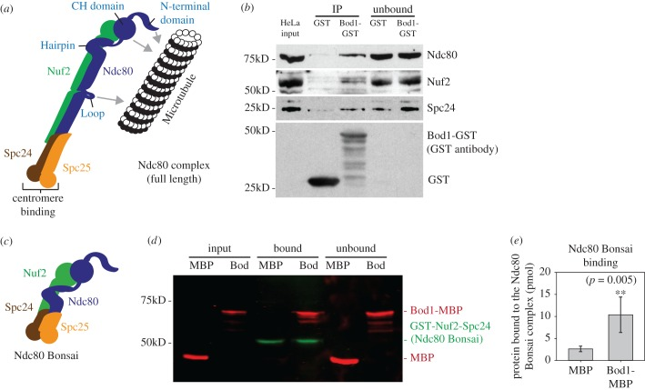 The Ndc80 complex interacts with Bod1 in mitotic HeLa cell extracts and in vitro . ( a ) Graphic representation of the full-length Ndc80 complex. Domains of interest, including the microtubule and centromere binding regions of the complex, are labelled. ( b ) Co-precipitation of Ndc80 complex components Ndc80, Nuf2 and Spc24 from mitotic HeLa cell extracts with purified Bod1-GST. ( c ) Representation of the recombinant Ndc80 Bonsai complex (as described in [ 38 ]). Ndc80–Spc25 and GST–Nuf2–Spc24 are expressed as fusion proteins. Both fusion constructs are co-expressed in E. coli from a dual-expression vector. ( d ) Of note, 150 pmol recombinant Ndc80 Bonsai, consisting of dimers of one Ndc80–Spc25 fusion protein with one GST–Nuf2–Spc24 fusion protein, was immobilized on Sepharose beads and incubated with 1 nmol Bod1-MBP or MBP. Binding was allowed for 1 h. Proteins were resolved by SDS-PAGE and immunoblotted using simultaneous detection of the MBP (red) epitope tag on Bod1 and the GST (green) epitope tag on Nuf2–Spc24. ( e ) Amount of bound protein in ( d ) was quantified relative to the input. Two asterisks indicate level of significance ( p