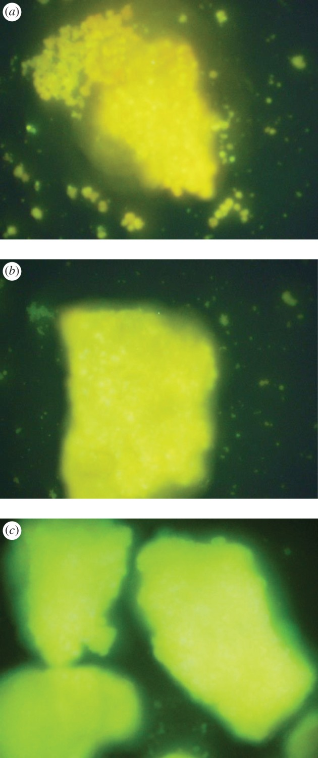 Inverted fluorescence microscope images of Ca-magadiite–calcein ( a ), Zn-magadiite–calcein ( b ) and Al-magadiite–calcein ( c ) under 250 nm UV light irradiation.