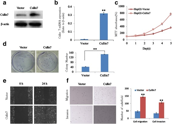 Upregulation of Cullin7 enhances the proliferation, migration, and invasion capacities of HCC cells. a Ectopic expression of Cullin7 in HepG2 cells analyzed by western blotting. β-actin was used as a loading control. b The transfection efficiency of Cullin7 was analyzed by measuring transcript levels using qRT-PCR analyses in HepG2 cells. c Cell proliferation after Cullin7 overexpression in cells was measured using MTT assays. d Colony formation assays show that upregulation of Cullin7 promotes cell growth, and the summary graphs are presented for the colony formation assay that is outlined. e HepG2 Cullin7 and control vector cells were subjected to a wound healing assay. f Overexpression of Cullin7 promoted cell invasion and migration as determined by Transwell migration and Matrigel invasion assays. Quantification of migrated cells through the membrane and invaded cells through Matrigel of each cell line are shown as a proportion of the vector controls. Error bars represent the mean ± SD of three independent experiments