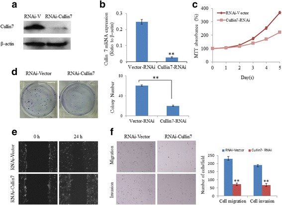 Knockdown of Cullin7 inhibited the proliferation, migration, and invasion capacities of HCC cells. a Knockdown of Cullin7 in specific shRNA-transduced stable HepG2 cells. β-actin was used as a loading control. b The transfection efficiency of shCullin7 was analyzed by measuring transcript levels using qRT-PCR analyses in HepG2 cells. c Silencing endogenous Cullin7 inhibited cell growth as determined using MTT assays. d Silencing endogenous Cullin7 inhibited cell growth as determined using colony formation assays. Summary graphs are presented for the colony formation assay that is outlined. e HepG2 shCullin7 and control vector cells were subjected to a wound healing assay (left panels). The uncovered areas in the wound healing assays were quantified as a percentage of the original wound area. f HepG2 shCullin7 and control vector cells were subjected to Transwell migration (upper panels) and Matrigel invasion assays (lower panels). Quantification of migrated cells through the membrane and invaded cells through Matrigel of each cell line are shown as a proportion of the vector controls. Error bars represent the mean ± SD of three independent experiments