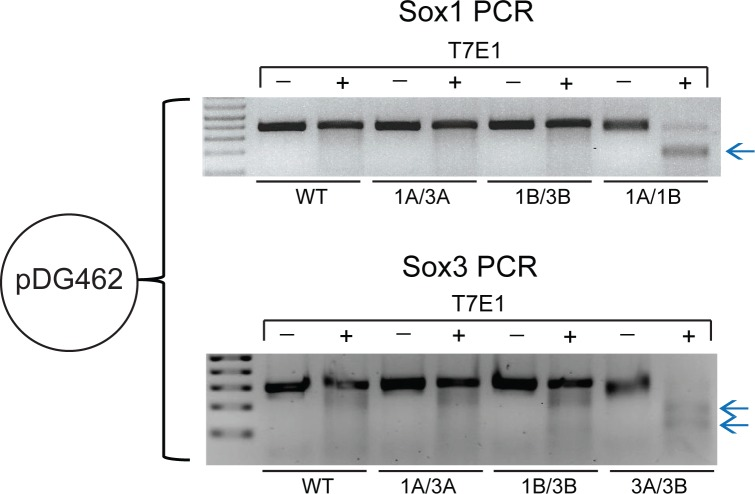 Paired-nickase DSB induction by pDG462. Sox1 or Sox3 PCR followed by T7E1 assay was performed on pDG462-transfected samples. Mutations in Sox1 and Sox3 were induced by pDG462 Sox1A/Sox1B or pDG462 Sox3A/Sox3B, respectively, as indicated by the digested products after T7E1 treatment (blue arrows). Mutations were not induced by non-paired-nickase control plasmids (pDG462 Sox1A/Sox3A or pDG462 Sox1B/Sox3B). Complete figures with more independent samples can be found in S3 Fig .
