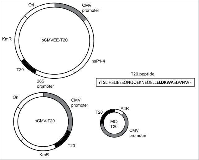 Schematic overview of T20 constructs. New constructs representing MC-T20, pCMV-T20, pCMVEE-T20 and the T20 peptide amino acid sequence with the 2F5 epitope in bold letters.