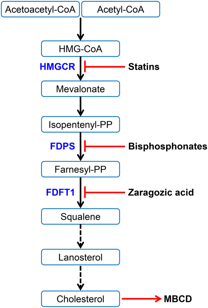 The mevalonate pathway leads to cholesterol synthesis. Acetoacetyl CoA and acetyl CoA are converted to squalene, which is subsequently converted to cholesterol. Important enzymes in the pathway include 3-hydroxy-3-methyl-glutaryl-coenzyme A reductase (HMGCR), farnesyl pyrophosphate synthase (FDPS), and farnesyl diphosphate farnesyltransferase 1 (FDFT1, also commonly called squalene synthase). Each of these enzymes can be inhibited by statins, bisphosphonates, and zaragozic acid, respectively; cholesterol can be depleted using methyl-β-cyclodextrin (MBCD).