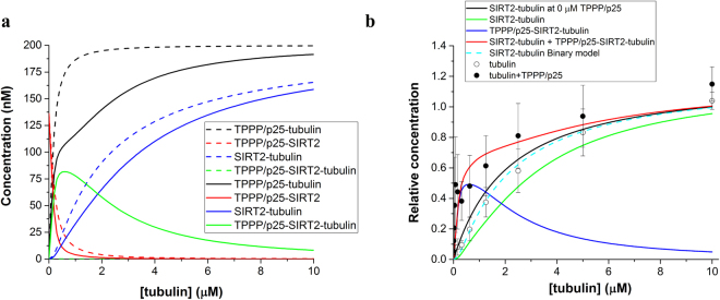 Mathematical model of the binary and ternary complexes and comparison with the ELISA experiment. ( a ) Concentration of the different complexes according to the binary (dashed lines) and ternary (solid lines) models. ( b ) SIRT2 was immobilized on the plate, then tubulin without (○) or with 200 nM TPPP/p25 (●) was added and the bound tubulin was detected by tubulin antibody. The data are presented as mean ± SD, n = 4 for tubulin, n = 3 for tubulin with TPPP/p25. SIRT2-tubulin at 0 μM TPPP/p25: relative concentration of SIRT2-tubulin complex without added TPPP/p25. Relative concentrations of SIRT2-tubulin, TPPP/p25-SIRT2-tubulin and the sum of SIRT2-tubulin and TPPP/p25-SIRT2-tubulin according to the ternary model, respectively, are shown. Relative concentration of SIRT2-tubulin according to the binary model is also displayed.