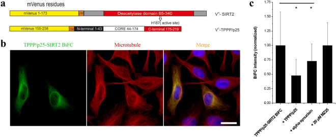 Interaction and localization of TPPP/p25 and SIRT2 in living HeLa cells as detected by immunofluorescence microscopy coupled with BiFC technology. ( a ) Scheme of the applied BiFC constructs. ( b ) Co-localization of the TPPP/p25-SIRT2 complex (green) with the MT network (red). MT network was stained with Alexa546, nuclei was counterstained with DAPI (blue). Scale bar: 10 μm. ( c ) BiFC signal (green) of the assembly of Venus N -TPPP/p25 and Venus C -SIRT2 and the effect of unlabelled TPPP/p25, α-synuclein and MZ25 was quantified as described in the Materials and Methods. The data are presented as mean ± SD, in each case at least 90 cells were analysed. *p = 2.45E-21 when control (BiFC) cells were compared with those co-transfected with unlabelled TPPP/p25 and *p = 6.76E-06 with unlabelled α-synuclein (two-sided, unpaired Student's t-test).