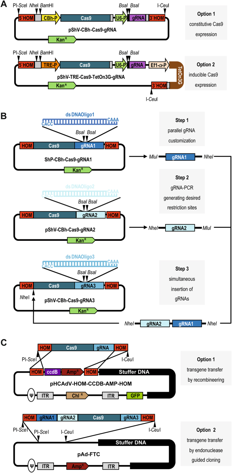 Plasmid toolbox for the construction of CRISPR/Cas9-HCAdV genomes. ( A ) Schematic presentation of intermediate CRISPR/Cas9 shuttle plasmids for simple gRNA manipulation and multiplexing and subsequent transfer of the customized CRISPR/Cas9 machinery into the HCAdV genome. Option 1: pShV-CBh-Cas9-gRNA for constitutive Cas9 expression. Option 2: pShV-TRE-Cas9-TeOn3G-gRNA for inducible Cas9 expression utilizing the TetOn3G system. Black arrowheads indicate unique restriction enzyme sites for insertion of further gRNA expression units. ( B ) Workflow for gRNA customization and multiplexing of the CRISPR/Cas9 machinery. Step1: Complementary annealed gRNA oligonucleotides are separately inserted between the Bsa I restriction enzyme sites resulting in pShV-CBh-Cas9-gRNA1, pShV-CBh-Cas9-gRNA2 and pShV-CBh-Cas9- gRNA3. Step 2: Customized gRNA expression units gRNA1 and gRNA2 are amplified by PCR using primers generating desired restriction enzyme sites. Step 3: gRNA1 and 2 are inserted into the respective restriction enzyme site within pShV-CBh-Cas9-gRNA1 resulting in pShV-CBh-Cas9-CBh-gRNA1-gRNA2-gRNA3. ( C ) Transfer of customized CRISPR/Cas9 transgenes into the HCAdV genomes. Option 1: Released CRISPR/Cas9 transgene cassettes flanked by homology arms are inserted into pHCAdV-HOM-CcdB-AMP-HOM replacing the CcdB-Amp R cassette. Option 2: Endonuclease guided cloning into pAd-FTC utilizing PI- Sce I and I- Ceu I. HOM, homology arms for homologous recombination into pHCAdV-HOM-CCBD-AMP-HOM; CBh-P, constitutive hybrid CMV enhancer/chicken β-actin promotor; TRE-P, inducible tetracycline responsible element promotor; TetOn3G, TetOn3G transactivator; Ef1-α-P, Ef1-α-Promotor; Cas9, Streptococcus pyogenes Cas9, gRNA, guide RNA expression unit; U6-P, U6 RNA polymerase III promotor, Kan R , Kanamycin resistance cassette; Amp R ; Ampicillin resistance cassette, Chl R , Chloramphenicol resistance cassette; CcdB, control of cell death B expression cassette; ITR, adenovirus serotype 5 inverted terminal repeat; Ψ, adenovirus serotype 5 packaging signal.