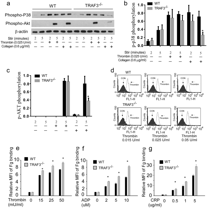 Akt and p38 MAPK phosphorylation and fibrinogen binding in response to thrombin in TRAF3 +/+ and TRAF3 −/− platelets. ( a–c ) Washed platelets from TRAF3 +/+ and TRAF3 −/− mice were incubated with increasing concentrations of thrombin or collagen at 37 °C in a platelet aggregometer for 2 or 5 min, and solubilized with SDS-PAGE sample buffer. Phosphorylation of Akt and p38 MAPK was detected by Western blotting with rabbit monoclonal antibodies specifically recognizing the phosphorylated Akt residue Ser473 or phosphorylated p38 residues Thr180/Tyr182. Statistical data of densitometric analysis from at least four experiments were shown in ( b ) and ( c ). ( d and e ) Washed platelets from TRAF3 +/+ and TRAF3 −/− mice (3 × 10 8 /ml) were incubated with Oregon Green-labeled fibrinogen in the presence of various concentrations of thrombin at 22 °C for 30 min. Platelets were also incubated with Oregon Green-labeled fibrinogen in the absence of thrombin at 22 °C for 30 min as a control. Fibrinogen binding to platelets was analyzed by flow cytometry. Quantitative results were expressed as fibrinogen binding indices (geometric mean (MFI) mean of fluorescence intensity of stimulated platelets/ geometric mean of fluorescence intensity of unstimulated platelets; geometric mean ± SD; n = 3; * P