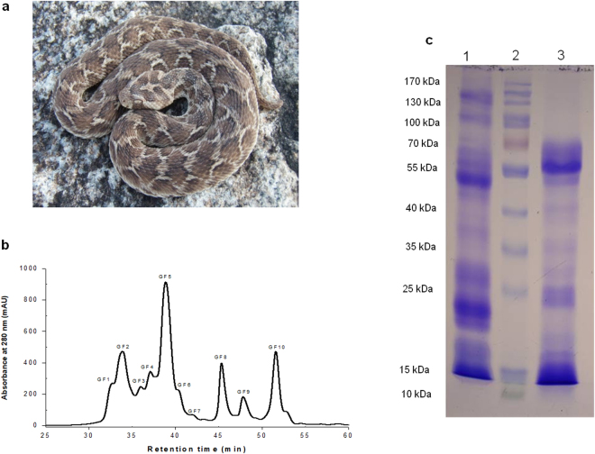 ( a ) Photograph of an Indian saw scaled viper ( Echis carinatus ). Photograph courtesy of Romulus Whitaker, Nov, 2010. ( b ) Fractionation of ECV (2.0 mg dry weight) on a Shodex KW- 803 gel filtration column coupled to Dionex <t>Ultimate</t> 3000 <t>UHPLC</t> system (Thermo Fisher Scientific, USA). The flow rate was maintained at 10 ml/h at room temperature (~23 °C) and fractions of 0.25 ml were collected. ( c ) SDS-PAGE analysis of crude ECV. Lane 1, 2 and 3 represents crude ECV (non-reduced), protein molecular markers and crude ECV (reduced) respectively.