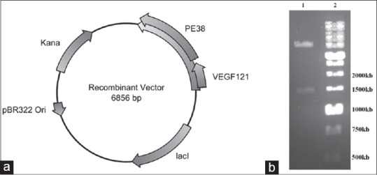 (a) Schematic representation of recombinant vector containing designed construct and (b) 1% agarose gel electrophoresis of recombinant vector [Lane 1: recombinant vector digested by HindIII and SacI and Lane 2: 1 kb DNA ladder SM0331 (Fermentas, Lithuania)]