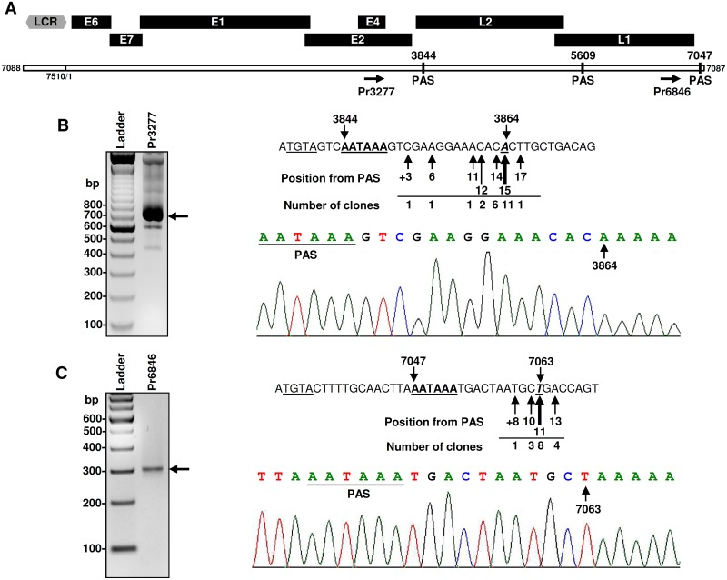 Mapping of polyadenylation cleavage sites for MmuPV1 transcripts. (A) The diagram depicting MmuPV1 genome with the position of primers used in 3'RACE analysis and three predicted canonical polyadenylation signals (PAS). The associated number represents the nt position in the MmuPV1 genome. (B-C) Mapping of MmuPV1 polyadenylation cleavage sites by 3′RACE was conducted on total RNA isolated from MmuPV1-infected wart tissues using MmuPV1-specific primer Pr3277 for viral early (B) or Pr6846 for viral late transcripts (C). The obtained RACE products (arrows) were gel purified, cloned, and sequenced. Sequence readings on the right show frequency and positon of all mapped cleavage sites for early (B) or late (C) viral pA sites. Canonical PAS sequences are bolded and underlined and the putative UGUA motifs (TGTA in cDNA) are underlined. Below is chromatograph of representative sequence showing the position of PAS (underlined) and cleavage site (arrow).