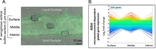 Spatial gene‐expression in the P. aeruginosa biofilm. A. A GFP‐tagged P. aeruginosa strain was used to grow biofilm on stainless steel coupons. After 72 h growth, the biofilm was fixed, embedded in Tissue‐Tek OCT compound, and vertically sectioned. The Zeiss PALM system was used to isolate approximately 150 μm 2 sections from the surface, middle, and interior portions of the biofilm. Scale bar is 10 μm. Three biological replicates of the sections were obtained in each spatial location. B. Linear expression map of all genes detected from different locations in the biofilm. Each line represents a single gene, with the rainbow colors (red to purple) indicating positive to negative log 2 fold‐change values. Genes above the line of log 2 fold‐change = 1 are considered up‐regulated, whereas genes below the line of log 2 fold‐change = −1 are considered down‐regulated in the biofilm compared to those in planktonically growing cells.