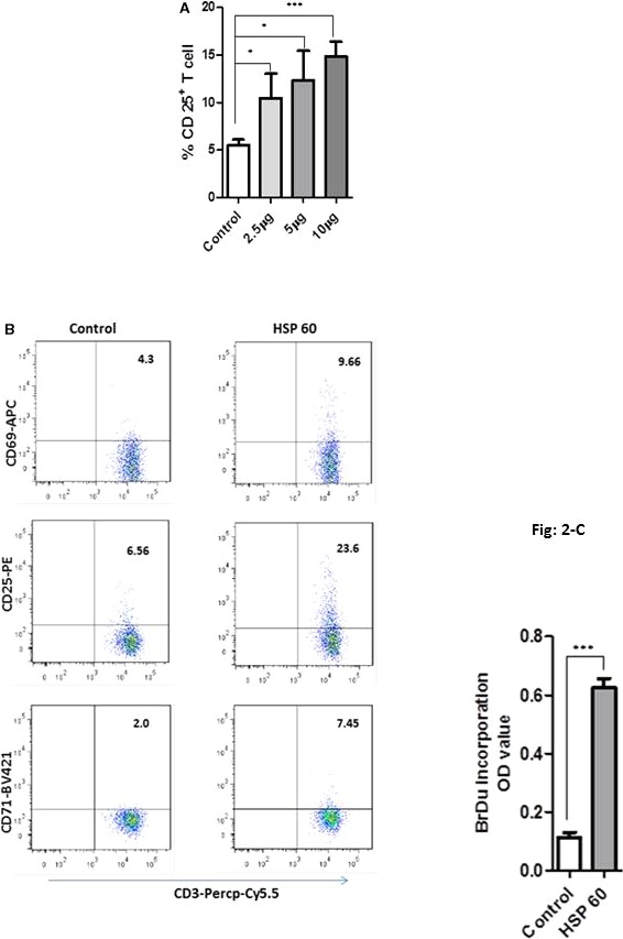 T‐cell activation and proliferation in dendritic cell ( DC )+T‐cell coculture. A, DC s were stimulated with heat shock protein 60 ( HSP 60) at the concentration of 2.5, 5, or 10 μg/mL. After overnight incubation, autologous T cells 4×10 5 were cocultured with 1×10 5 DC s. All the concentrations of HSP 60 induced T‐cell activation, where 5 or 10 μg/mL were a little stronger, which was tested by CD 25 expression in CD 3 T cells. B, One representative of minimum 3 experiments of T‐cell activation, which was determined by CD 69 early activation, CD 25 and CD 71 intermediate/late activation markers. DC s were stimulated with 5 μg/mL of HSP 60 and cocultured with CD 3 + T cells. For analysis, CD 3 + cells were gated, then percentage of CD 3+ CD 69/ CD 25/ CD 71 + cells was shown in the upper right of each gate. HSP 60‐induced DC s activated all of 3 activation markers in CD 3 + T cells, P ≤0.0001 from triplicate samples. C, In response to HSP 60, DC +T cells show a high proliferation rate; 1 representative of 3 individual experiments is shown here. APC Allophycocyanine; BrDu, 5‐brom‐2‐deoxiuridin; OD, Optical density; Percp‐Cy5.5, Peridinin Chlorophyll Protein‐Cyanine 5.5. * P ≤0.05; *** P ≤0.0001.