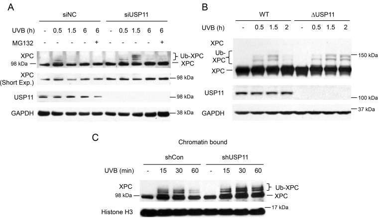 USP11 deubiquitinates XPC at the chromatin following UVB damage ( A, B ) Immunoblot analysis of XPC, USP11, and GAPDH in HaCaT cells transfected with siUSP11 or siNC and treated with or without MG132 (10 µM) 1 h prior to UVB exposure (20 mJ/cm 2 ) (A), 293T WT and ΔUSP11 cells (B) at the indicated times post-UVB (20 mJ/cm 2 ). ( C ) Immunoblot analysis of XPC and histone H3 using chromatin-bound protein fractions from HaCaT cells stably infected with a lentiviral vector expressing shCon or shUSP11 at the indicated times post-sham or -UVB (20 mJ/cm 2 ) irradiation.