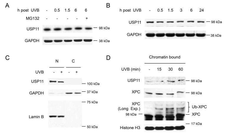 UVB induces USP11 recruitment to the chromatin ( A, B ) Immunoblot analysis of USP11 and GAPDH in HaCaT cells (A), and normal human epidermal keratinocyte (NHEK) cells (B) with or without MG132 treatment (10 µM) 1 h prior to UVB (20 mJ/cm 2 ). ( C ) Immunoblot analysis of USP11, GAPDH, and Lamin B using nuclear [N] and cytoplasmic [C] fractions from HaCaT cells with or without UVB (20 mJ/cm 2 , 30 min). ( D ) Immunoblot analysis of USP11, Histone 3, and XPC using chromatin bound protein fractions from HaCaT cells over a time course post-UVB (20 mJ/cm 2 ).