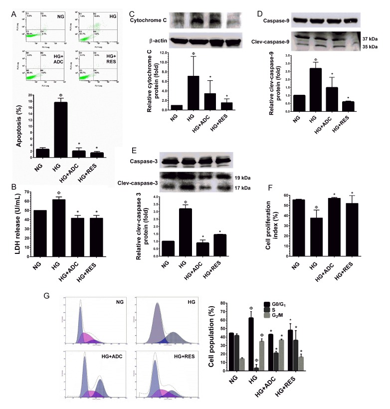 Protective effect of ADC on HG-induced HUVEC apoptosis and growth arrest A. HUVECs were incubated with HG in the presence or absence of ADC or RES for 72 h. Apoptotic cell death was performed with Annexin V/PI staining and the hypodiploid DNA was determined by flow cytometry. B. HUVECs were treated with HG in the presence or absence of ADC or RES for 72 h. LDH release in the supernatant of HUVEC cultures was measured by LDH assay kit as described in Materials and Methods. C. - E. Protein expression levels of cytochrome C, caspase-9 and caspase-3 levels were determined by western blot analysis. The relative protein expression of cytochrome C was normalized with β-actin, whereas cleaved capase-9 and cleaved caspase-3 levels were normalized with pro-caspase-9 and pro-caspase-3, respectively. F. HUVECs proliferation index was determined by flow cytometry. G. HUVECs were incubated with HG in the presence of ADC or RES for 72 h. Cell-cycle distribution was measured by flow cytometer using PI. Percentage of cell population in each transition phase is shown in the histogram. Values represent the mean ± SD of three independent experiments. Statistical significance was set at Ф P