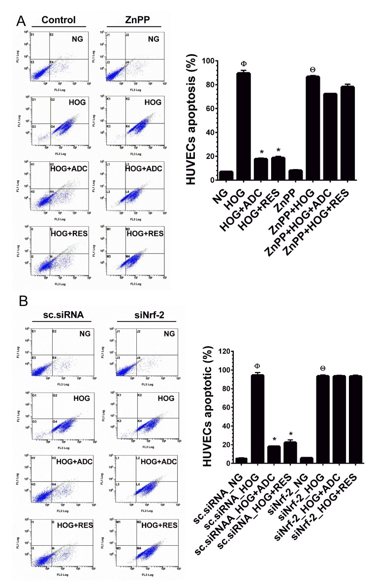 ADC failed to protect HOG-induced HUVEC apoptosis under Nrf2 silenced conditions A. HUVECs were transfected with specific siRNA against Nrf2 or scrambled siRNA (control). After transfection for 24 h, cells were incubated with HOG in the presence or absence of ADC or RES for 24 h. HUVEC apoptosis was determined by Annexin V/PI staining using a flow cytometer. B. HUVECs were pre-treated with ZnPP for 2 h and then incubated with HOG in the presence or absence of ADC or RES for 24 h. Apoptotic cell death was quantified by flow cytometry. Values represent the mean ± SD of three independent experiments. Statistical significance was set at Ф P