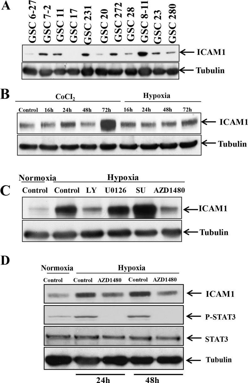 p-STAT3 upregulates <t>ICAM-1</t> expression in GSC11 cells under hypoxic conditions ( A ) Western blotting revealed that ICAM-1 is expressed in multiple human glioma stem cell lines. ( B ) Western blotting revealed that the ICAM-1 expression level in GSC11 cells increased in a time-dependent manner under hypoxic conditions. ( C ) Western blotting revealed that ICAM-1 was expressed in GSC11 cells treated with or without LY, U0126, SU, or AZD1480 under hypoxic conditions. ( D ) Western blotting revealed the p-STAT3 expression level in the nuclear fraction of GSC11 cells treated with or without AZD1480 under hypoxic conditions.
