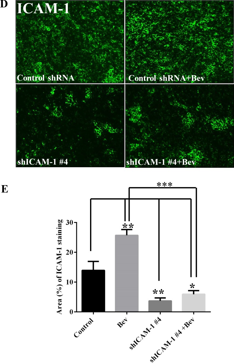 ICAM-1 knockdown prolongs survival in mice with bevacizumab-resistant glioblastoma ( A ) Kaplan-Meier survival analysis revealed that when mice bearing shRNA ICAM-1 #4 xenografts prolonger survival compared with the mice bearing GSC11 GFP after treatment with bevacizumab. H E staining analysis ( B ) and the bar graph of tumor volume ( C ) revealed that the size of the tumor which from mice bearing shRNA ICAM-1 #4 xenografts significantly decreased compared with the tumor from the mice bearing GSC11 GFP after with or without treatment of bevacizumab for 5 weeks. Representative images are shown ( D ) for the immunofluorescence staining of ICAM-1 (green) revealing that ICAM-1 expression was significantly lower in tumor from mice bearing shRNA ICAM-1 xenografts compared with tumor from mice bearing GSC11GFP after treatment with or without bevacizumab. Representative photomicrograph images are shown (magnification × 200). ( E ) The bar graph from the percentage of ICAM-1 staining in tumor area (D) revealed that ICAM-1 expression was blocked in tumor from mice bearing shRNA ICAM-1#4 compared with tumor from the mice bearing GSC11 GFP ( * P