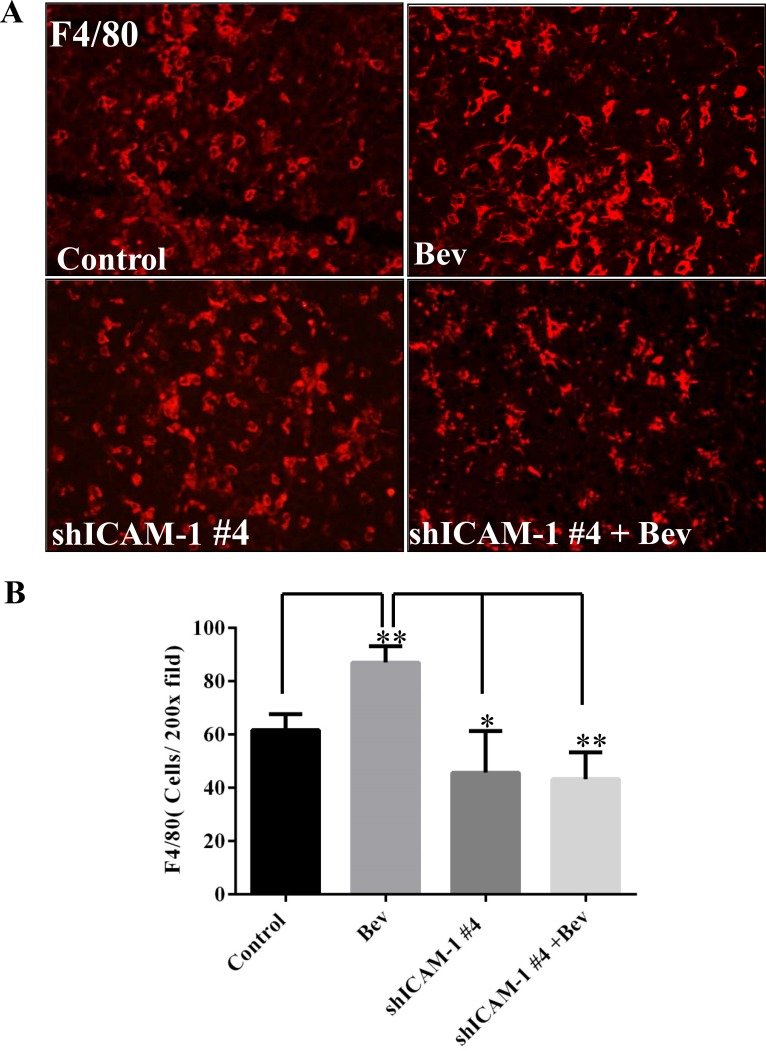 ICAM-1 knockdown inhibits macrophage infiltration into tumor in bevacizumab-treated mice ( A ) and ( B ) Immunofluorescence staining with F4/80 (red) (A) and the bar graph of F4/80 positive cells in each high powered microscopic field (B) revealed that shRNA ICAM-1generated tumor had less F4/80 positive macrophage infiltration compared with GSC11GFP generated tumor. Representative photomicrographic images are shown (magnification ×200). ( C ) Immunofluorescence staining for Nestin (green) and F4/80 revealed that blocking ICAM-1 by treatment with ICAM-1 antibody 10 µg/ml or 20 µg/ml in GSC11 cells reduced GSC11 binding to macrophages. ( D ) The bar graph represents the ratio of Nestin positive to F4/80 positive. Data showed that blocking ICAM-1 decreased GSC capacity of binding to macrophages.