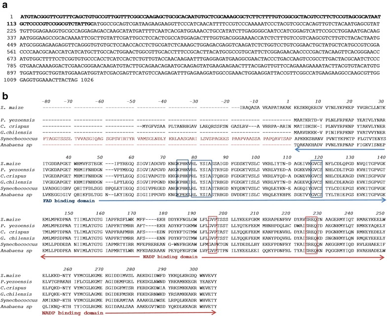 a Nucleotide sequence of the gene identified for FNR of Gracilaria chilensis . Nucleotides 1–135 (bold letters) codify for a chloroplastide transit signal. b Translated sequence of the G. ch mature protein, from amino acid 1. A sequence alignment with FNR from Zea mays, Pyropia yezoensis, Chondrus crispus, Synechococcus sp. and Anabaena sp .* is also shown. In Synechococcus , the sequence for a PBS binding third domain is shown (residues – 1 to − 80). The NADP and FAD binding domains are indicated by arrows, the conserved residues for the binding of co-factor and substrate are also shown in blue squares and red squares for FAD and NADP binding residues respectively.Amino acid residues involved in the interaction with ferredoxin are also shown. *The third domain for Anabaena sp. is not shown for the clarity of the alignment. Only the common two domains present in the structural complex (1ewy) are shown
