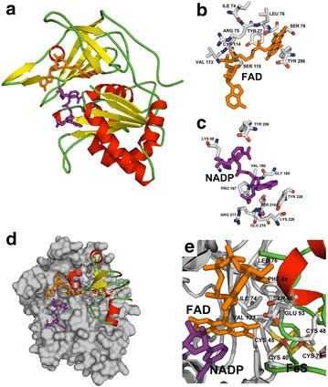 a Comparative model of ferredoxin NADP + reductase from Gracilaria chilensis. Secondary structures are shown by arrows (β strands) and cylinders (α helices); FAD is shown as orange sticks and NADP as purple sticks. b Close up of the residues involved in the NADP + binding site, c close up of the residues involved in the FAD binding site. d Docking model of FNR (grey surface), showing the two co-substrates, NADP + and ferredoxin, the co-factor FAD and the 2[FeS] cluster. e Close-up of the complex showing residues of the interface included in the text