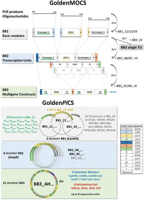 Assembly strategy and hierarchical backbone levels of the cloning systems GoldenMOCS and Golden Pi CS. In the microorganism-independent general platform GoldenMOCS, DNA products (synthetic DNA, PCR products or oligonucleotides) are integrated into BB1 by a Bsa I Golden Gate Assembly and fusion sites Fs1, Fs2, Fs3 and Fs4. Fusion sites are indicated as colored boxes with corresponding fusion site number or letter. Basic genetic elements contained in backbone 1 (BB1) can be assembled in recipient BB2 by performing a Bpi I GGA reaction. The transcription units in BB2 are further used for Bsa I assembly into multigene BB3 constructs. Single transcription units can be obtained by direct Bpi I assembly into recipient BB3 with fusion sites Fs1-Fs4. Fusion sites determine module and transcription unit positions in assembled constructs. Thereby, fusion sites Fs1 to Fs4 are used to construct single expression cassettes in BB2 and are required between promoter (Fs1-Fs2), CDS (Fs2-Fs3) and terminator (Fs3-Fs4). Fusion sites FsA to FsI are designed to construct BB3 plasmids and separate the different expression cassettes from each other. The FSs are almost randomly chosen sequences and only FS2 has a special function, because it includes the start codon ATG. Golden Pi CS additionally includes module-containing BB1s specific for P. pastoris : 20 promoters, 1 reporter gene (eGFP) and 10 transcription terminators, and recipient BB3 vectors containing different integration loci for stable genome integration in P. pastoris and suitable resistance cassettes (Additional file 2 )