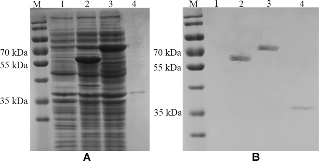 SDS-PAGE (A) and Western Blot (B) analysis of the expression of E. coli cell surface display systems for HuNoV (GII.4) recombinant capsid proteins with (3) or without the linker fragment (2) and the thrombin-released P proteins (4). M: prestained protein ladder (Catalog No.: 26616, Thermo Fisher, Shanghai, China); (1) pET-28a/BL21; (2) pET28a-inaQn-P (GII.4)/BL21; (3) pET28a-inaQn-TB-P (GII.4) /BL21; (4) Thrombin-released P proteins.